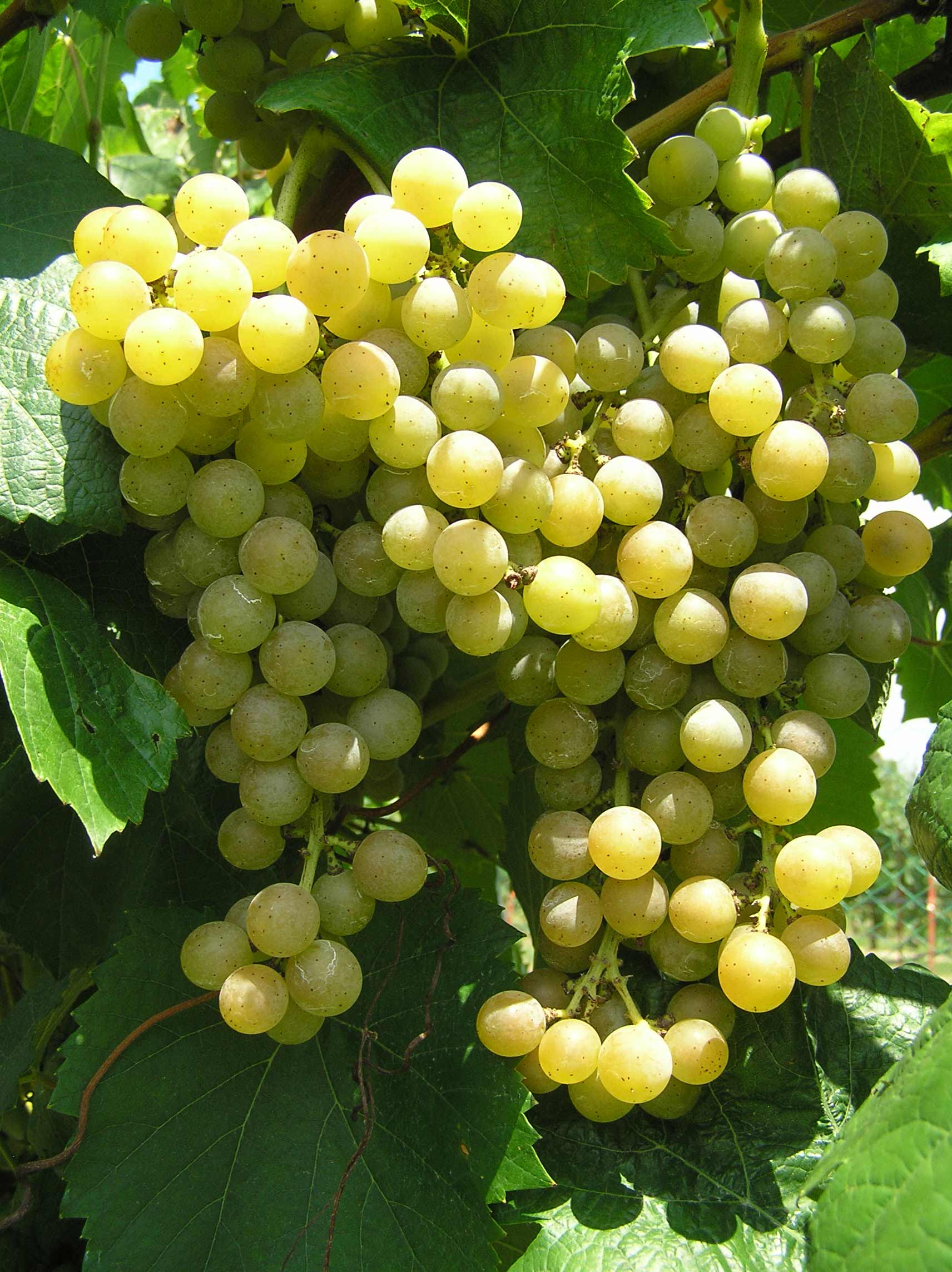 Traminette grapes
