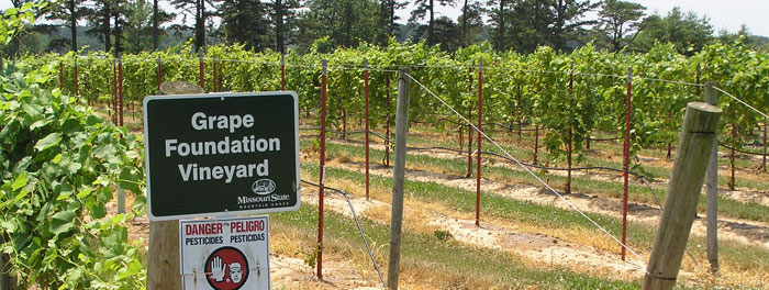 Grape Foundation Vineyard